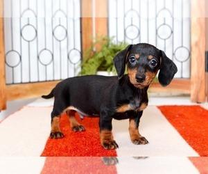 Dachshund Puppy for sale in NAPLES, FL, USA