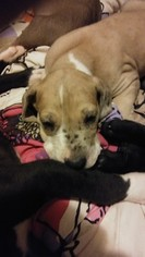 Great Dane Puppy For Sale in HOWARD CITY, MI