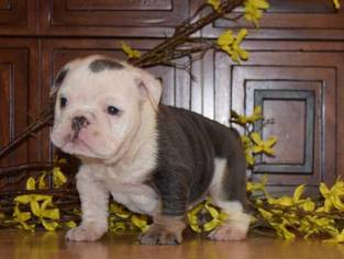 Bulldog Puppy For Sale in FONTANA, CA