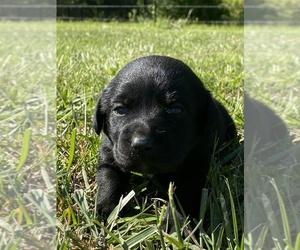 Labrador Retriever Puppy for Sale in MACOMB, Missouri USA
