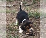 Small #8 Beagle