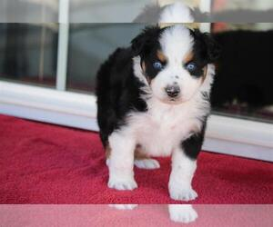 Australian Shepherd Puppy for Sale in CIRCLEVILLE, Utah USA