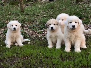 Great Pyrenees Puppy For Sale near 37037, Christiana, TN, USA