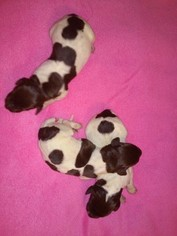 German Shorthaired Pointer Puppy For Sale in WHITNEY POINT, NY