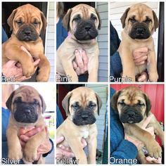 Bullmastiff Puppy for sale in FLAT ROCK, MI, USA