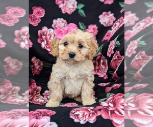 Cavachon Dog for Adoption in AIRVILLE, Pennsylvania USA