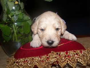 Goldendoodle Puppy For Sale in OLIVER SPRINGS, TN, USA