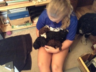 Spanish Water Dog Puppy for sale in ROCKFORD, IL, USA