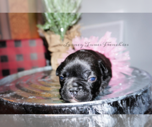 French Bulldog Puppy for sale in TAYLOR, TX, USA