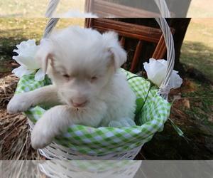 Australian Shepherd Puppy for sale in HOLLAND, MI, USA