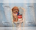 Small #11 Poodle (Toy)