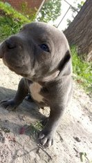 American Pit Bull Terrier-American Staffordshire Terrier Mix Puppy For Sale in INDIANAPOLIS, IN