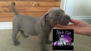 American Bully Puppy For Sale in LANCASTER, PA, USA