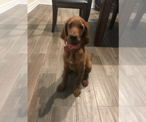 Irish Setter Puppy for sale in PFLUGERVILLE, TX, USA
