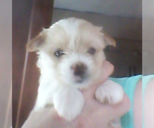 Biewer Terrier Puppy for sale in LEOMINSTER, MA, USA