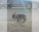 Small Photo #7 French Bulldog Puppy For Sale in CLACKAMAS, OR, USA