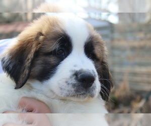 Great Pyrenees-Saint Bernard Mix Puppy for Sale in LAFAYETTE, Colorado USA