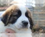 Puppy 1 Great Pyrenees-Saint Bernard Mix