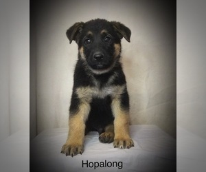 German Shepherd Dog Puppy for Sale in PENROSE, Colorado USA