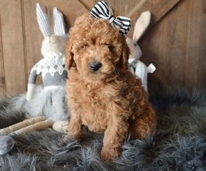 Goldendoodle Dog for Adoption in HONEY BROOK, Pennsylvania USA