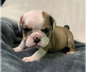English Bulldog Puppy for Sale in MBORO, Tennessee USA