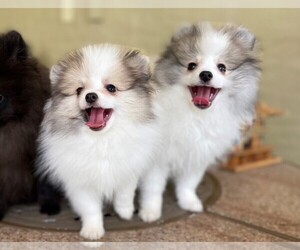Pomeranian Puppy for Sale in WINDERMERE, Florida USA