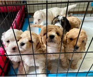 Poodle (Miniature) Puppy for sale in MENA, AR, USA