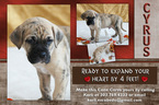 Cane Corso Puppy For Sale in BYERS, CO,