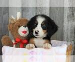 Small Bernese Mountain Dog