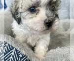 Puppy 1 ShihPoo