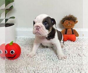 English Bulldog Puppy for Sale in JOHNS ISLAND, South Carolina USA