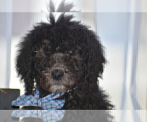 Poodle (Standard) Puppy for sale in FLORA, IL, USA