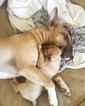 Bull Terrier Puppy For Sale in PHOENIX, AZ, USA
