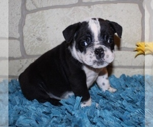 English Bulldogge Puppy for Sale in W LAFAYETTE, Ohio USA