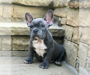 French Bulldog Puppy for Sale in ATL, Georgia USA