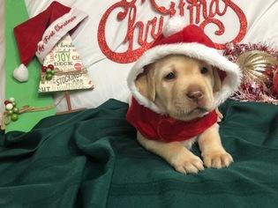 Labrador Retriever Puppy For Sale in MANTECA, CA, USA