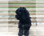 Small #5 Maltese-Poodle (Toy) Mix