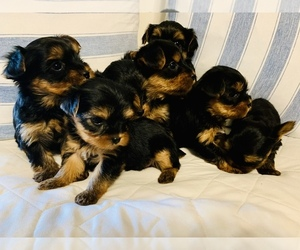 Yorkshire Terrier Puppy for Sale in BLOWING ROCK, North Carolina USA