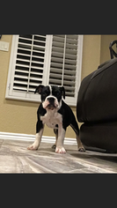 Olde English Bulldogge Puppy For Sale in EL PASO, TX, USA