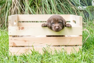 Labrador Retriever Puppy For Sale in MAGNOLIA, TX