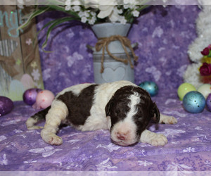 Poodle (Standard) Puppy for sale in CHANUTE, KS, USA