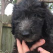 Goldendoodle Puppy For Sale in PORT RICHEY, FL,