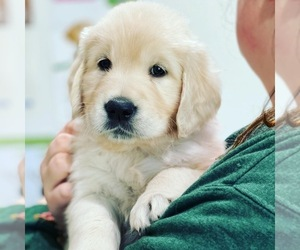 English Cream Golden Retriever Puppy for sale in NACOGDOCHES, TX, USA