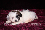 ShihPoo Mix Puppy For Sale in WAYLAND, IA, USA