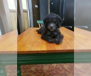 View Ad Poodle Toy Puppy For Sale Near Virginia New