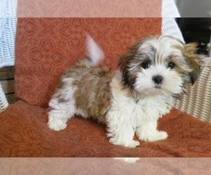 Zuchon Puppy for sale in BRONX, NY, USA