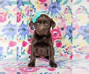 Labrador Retriever Puppy for sale in HOLTWOOD, PA, USA