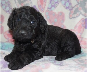 Goldendoodle Puppy for sale in LONG BEACH, WA, USA