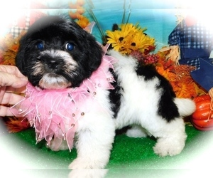Havanese Puppy for Sale in HAMMOND, Indiana USA