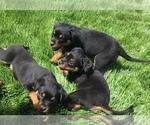 Small #38 Rottweiler